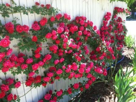 в`юнкі троянди підготовка до зими