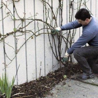 як обрізати плетистую троянду