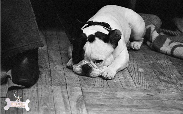 Епідідіміт / орхіт у собак