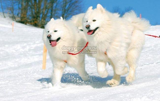 Собака самоед: опис, ціни, фото і відео