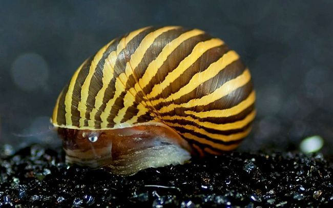 Улітку неретін - краса і чистота в акваріумі