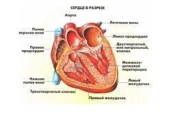 Будова серця людини