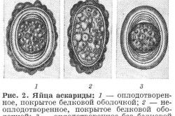 яйця аскариди
