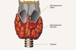 Розташування щитовидної залози
