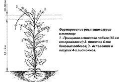 Схема формування огірка в теплиці