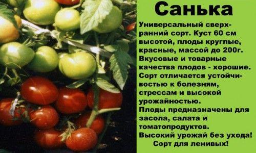 сорт томатів